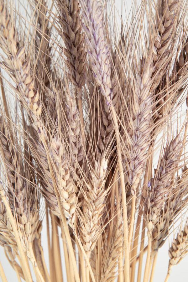 Wheat Dry Tinted Light Purple
