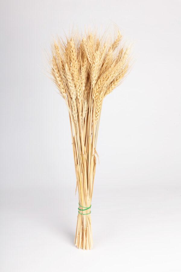 Wheat Dry