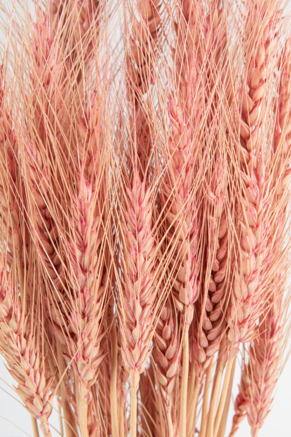Wheat Dry Tinted Pink