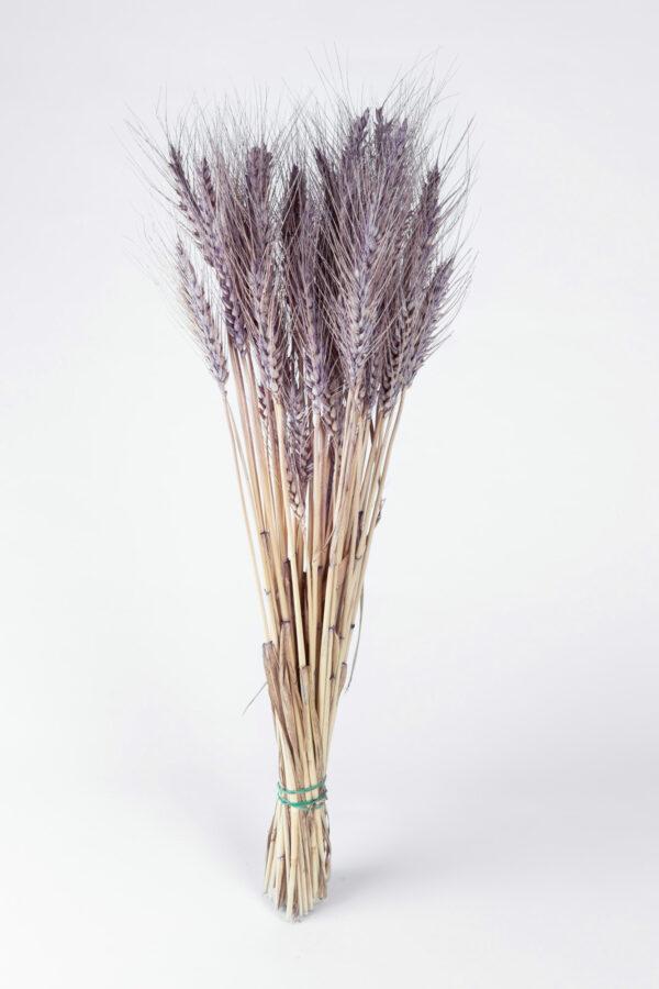Wheat Dry Tinted Purple