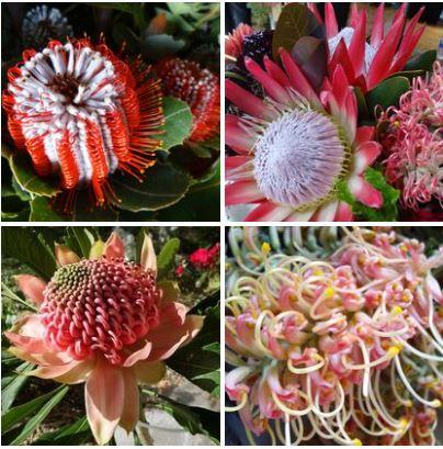 WildflowersAustralia (1)