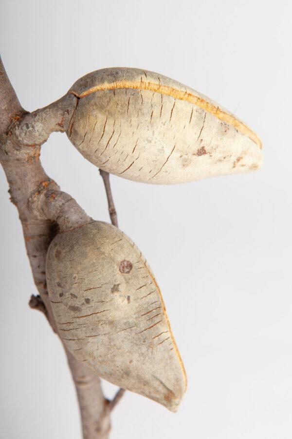Woody Pear Leafless 2 Nut