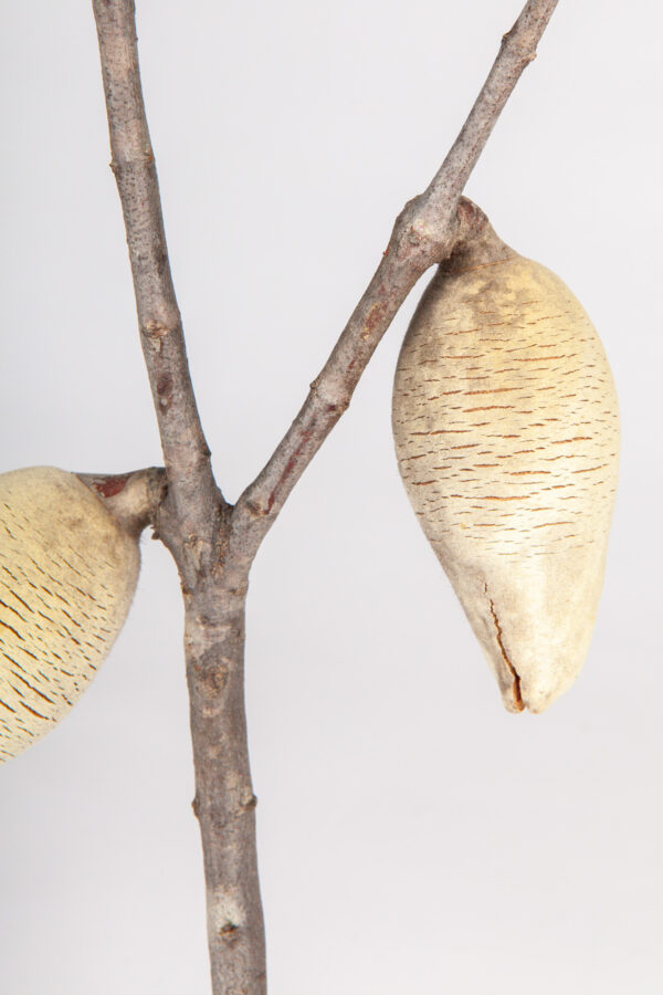 Woody Pear Leafy 2 Nut