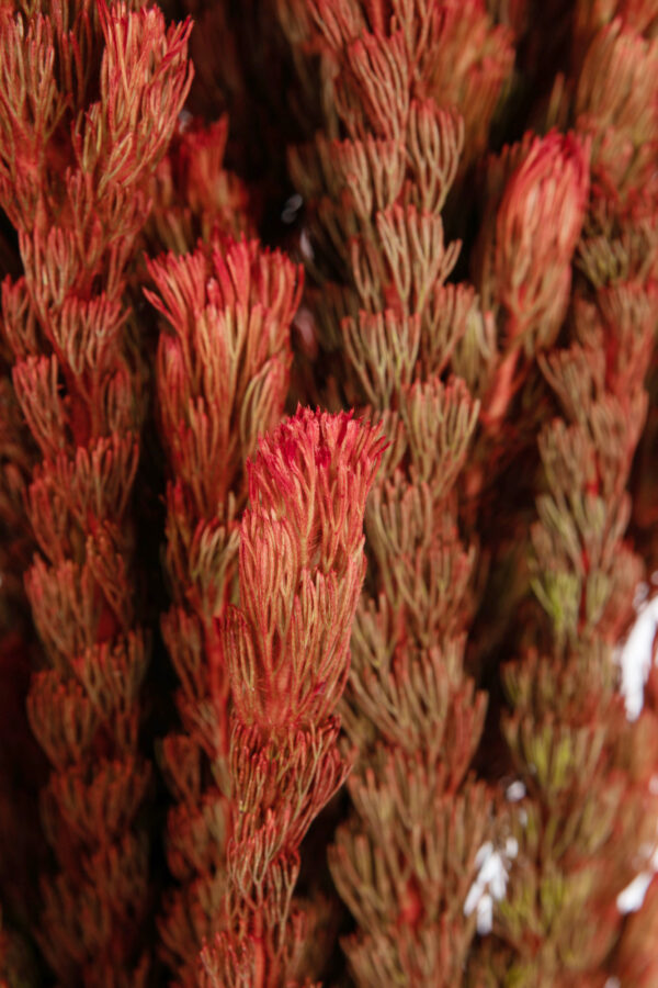 Woolly Bush Tinted Red