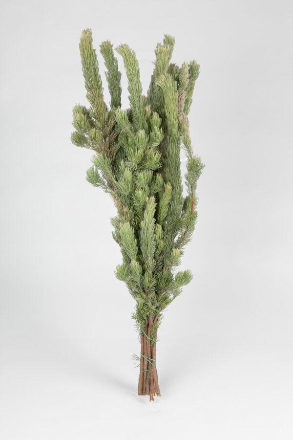Woolly Bush