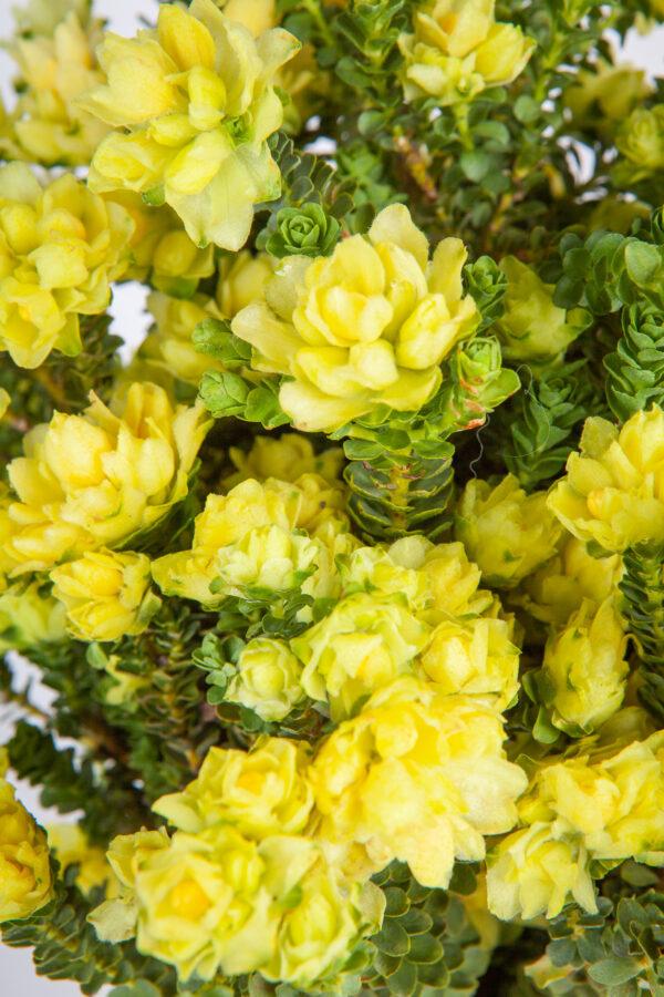 Yellow Bells Daffodil